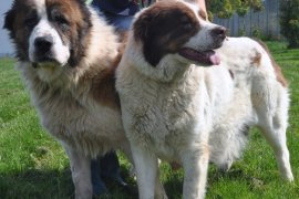 Psy września: Taber i Taberka