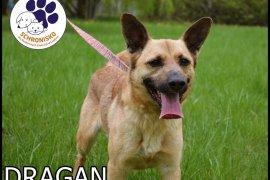 DRAGAN (TIGER)